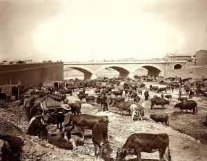GANADO EN EL RIO 1901